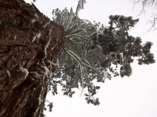 Mammutbaum im Tiefenbachtal